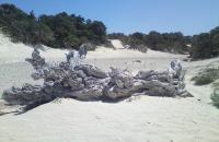 Chrissi island, the cedar trees look like natural sculptures.